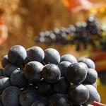 Viñedo Rioja Alavesa